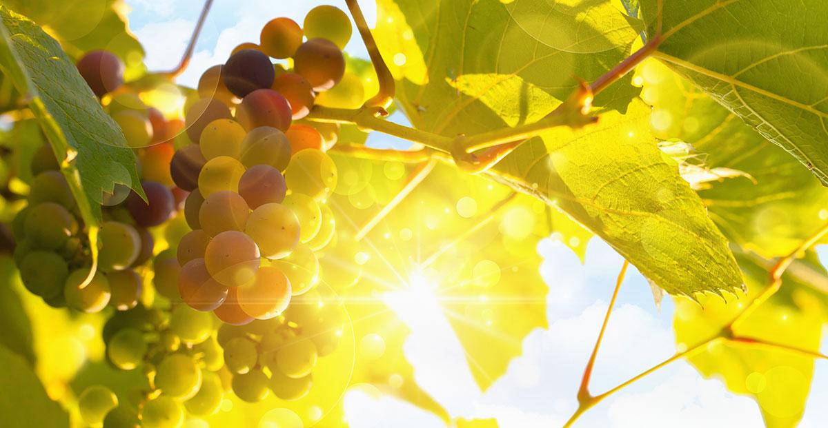 Grüne Weintrauben.